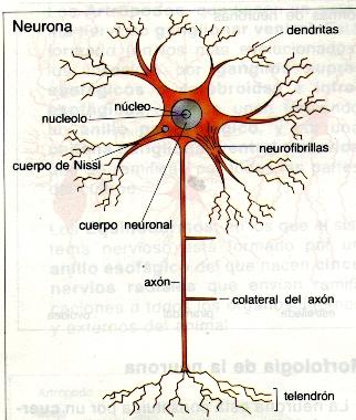Composición de las neuronas: